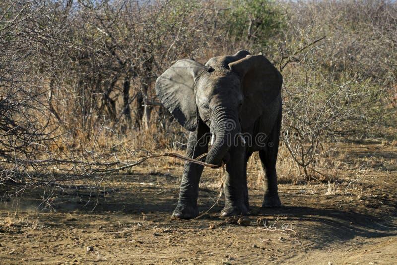 juvenile африканского слона стоковая фотография