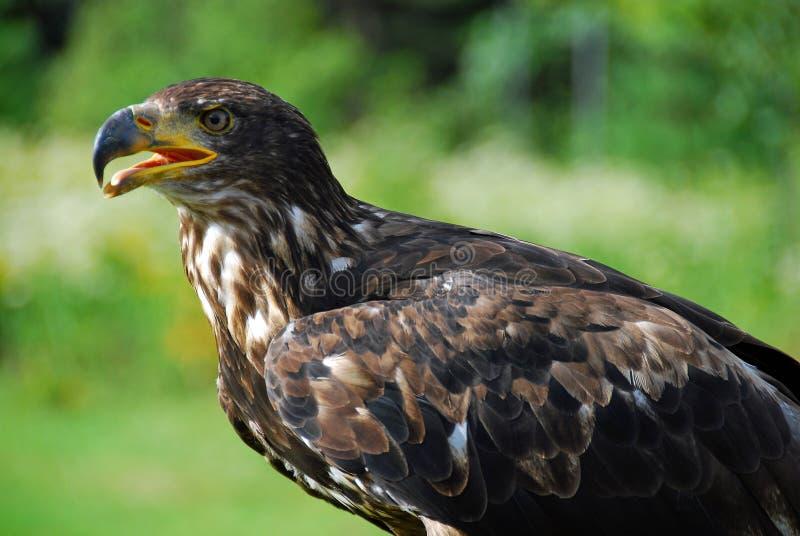 juvenile облыселого орла стоковые фотографии rf