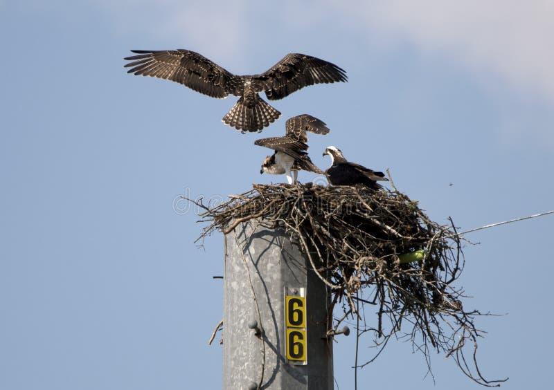 Osprey Nest, Lake Oconee Georgia USA. Juvenile and adult Osprey bird of prey raptors in nest platform on utility pole at Lake Oconee, Putnam County, GA. The stock photo