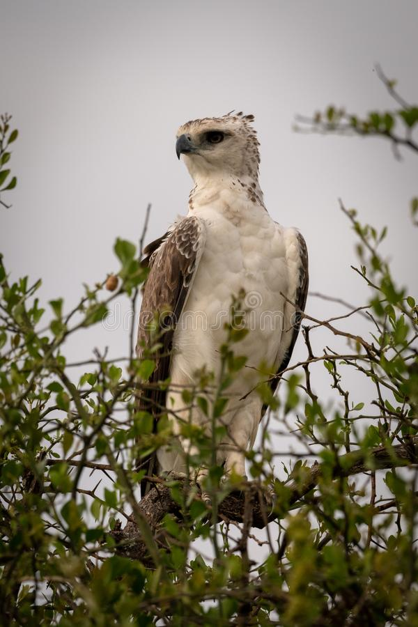 Juvenile African crowned eagle perched on branch royalty free stock photos