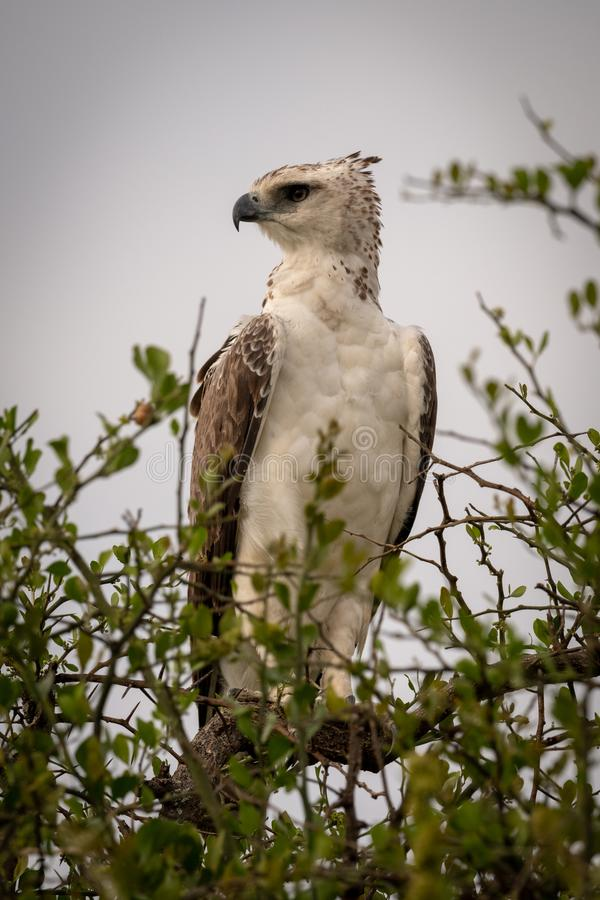 Juvenile African crowned eagle perched in tree stock photography