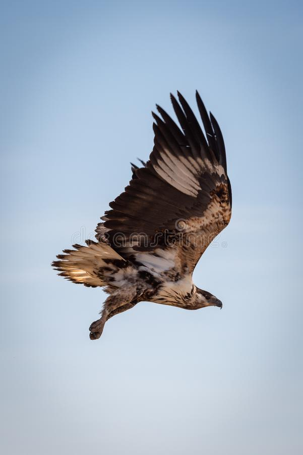 Juvenile African fish eagle in blue sky stock photography