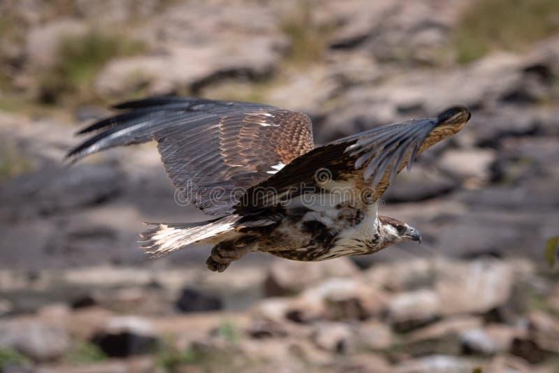 Juvenile African fish eagle flies past rocks stock photography