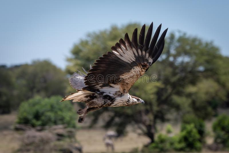 Juvenile African fish eagle flies past trees stock images
