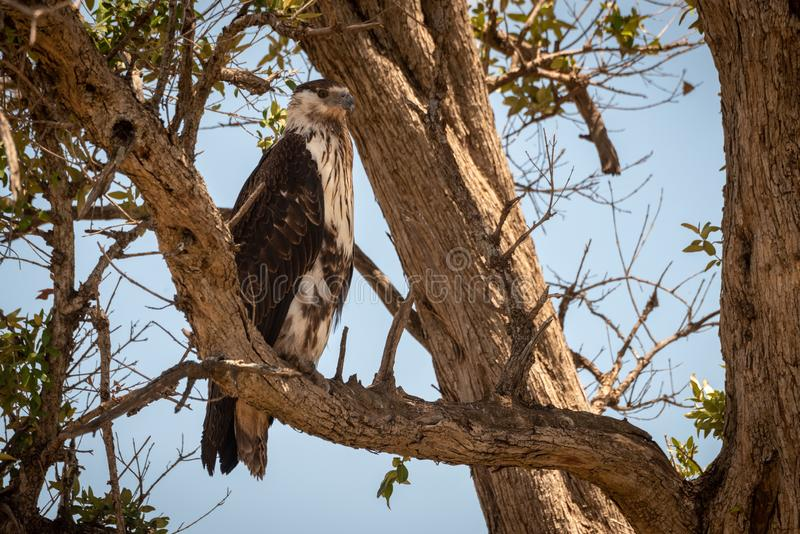 Juvenile African fish eagle perches in tree stock photo