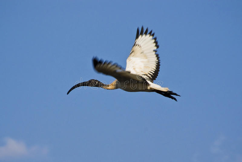 Juvenile African Sacred Ibis in Flight. (Threskiornis aethiopicus). A species of wading bird of the ibis family. Closely related to the Hadeda Ibis. Juveniles stock photography