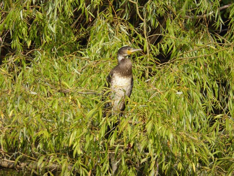 Juvenile aka Immature Great Cormorant - Phalacrocorax carbo stock images
