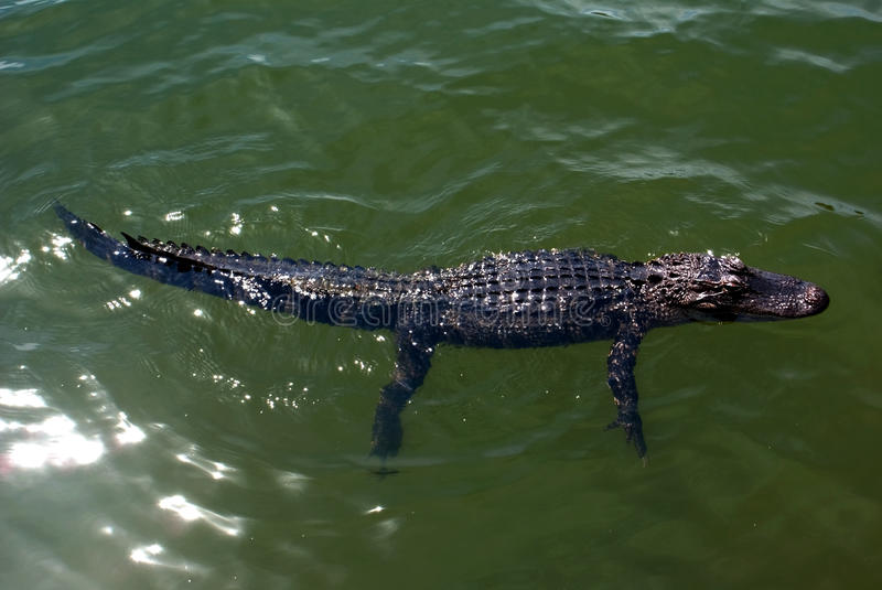 Juvenile alligator swimming in pond on Hilton Head Island South Carolina. A young common American alligator is swimming in a small freshwater lake on a sunny day stock photos