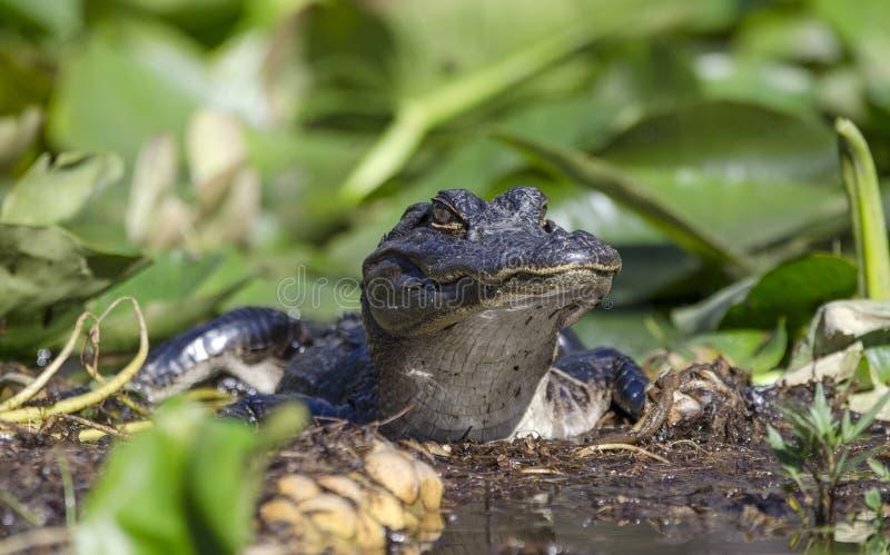 Juvenile American Alligator, Okefenokee Swamp National Wildlife Refuge stock images