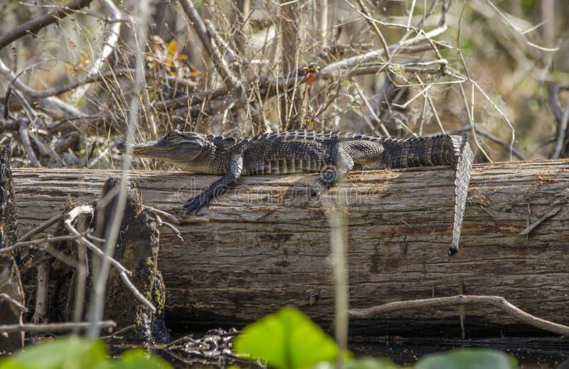 Juvenile American Alligator sunning on log, Okefenokee Swamp National Wildlife Refuge royalty free stock photography