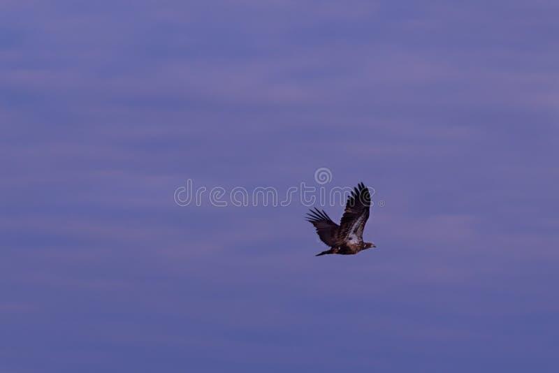 Soaring High. A juvenile American Bald Eagle at the Bald Knob Wildlife Refuge in Bald Knob, Arkansas 2017 royalty free stock photography