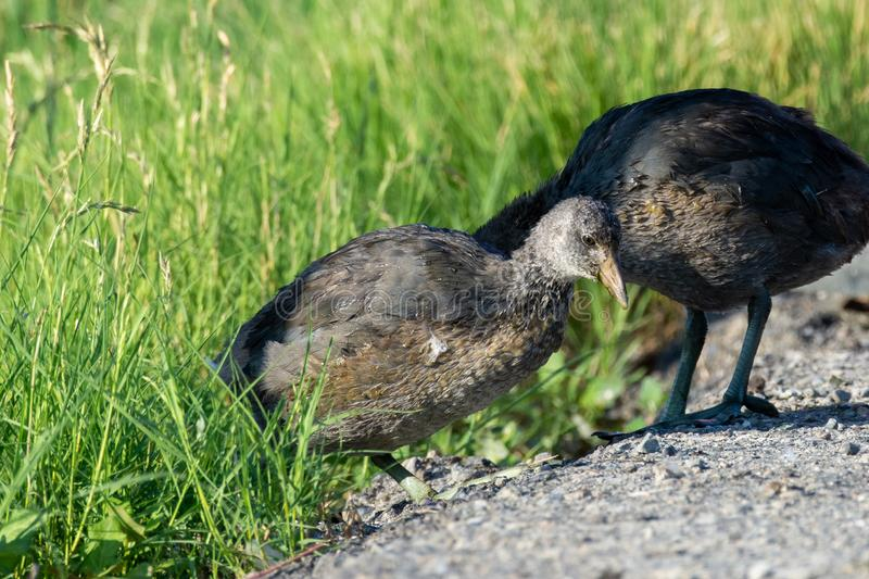 A juvenile American coot Fulica americana, also known as a mud hen, is a bird of the family Rallidae standing in front of the stock images