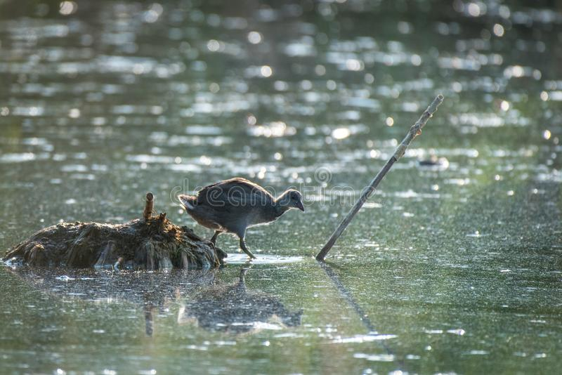 American Coot Chick Entering Pond stock photo