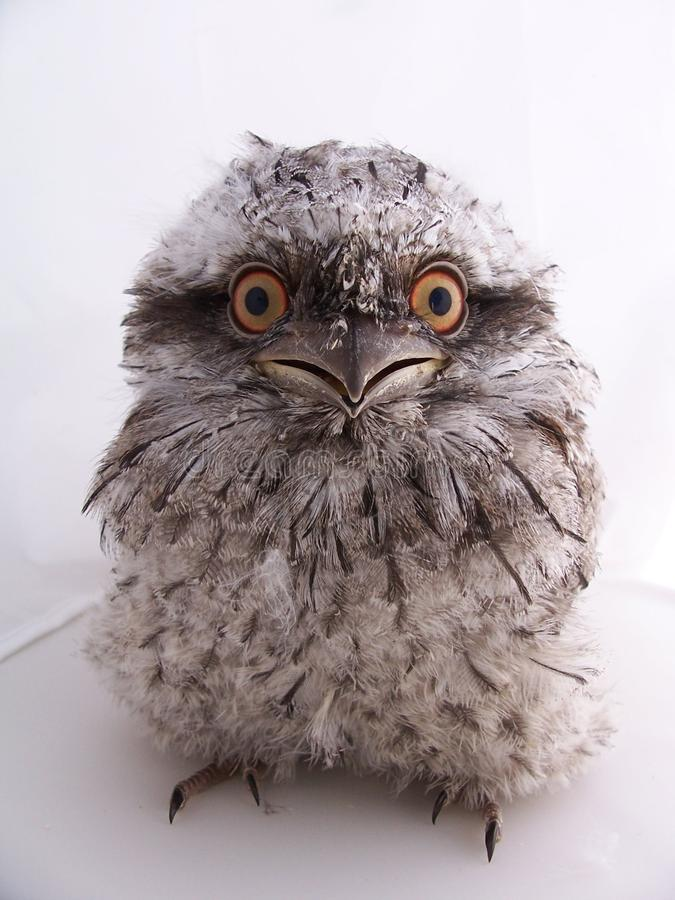 Juvenile Australian Tawny Frogmouth - Isolated royalty free stock image