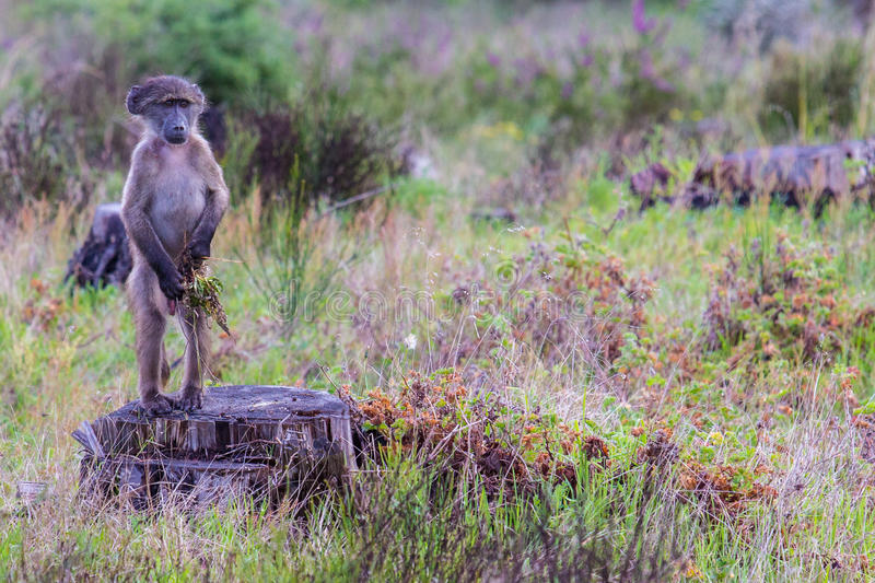 Juvenile baboon standing upright stock images