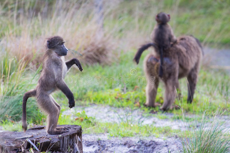 Download Juvenile Baboon Standing Upright Stock Photo - Image: 28612000