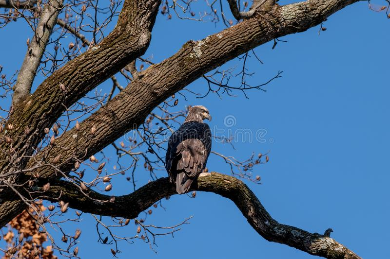 A juvenile Bald Eagle perched on a branch stock images