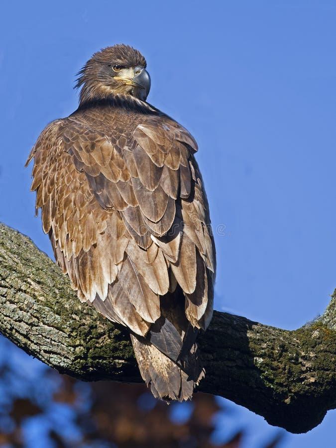 Juvenile Bald Eagle stock image