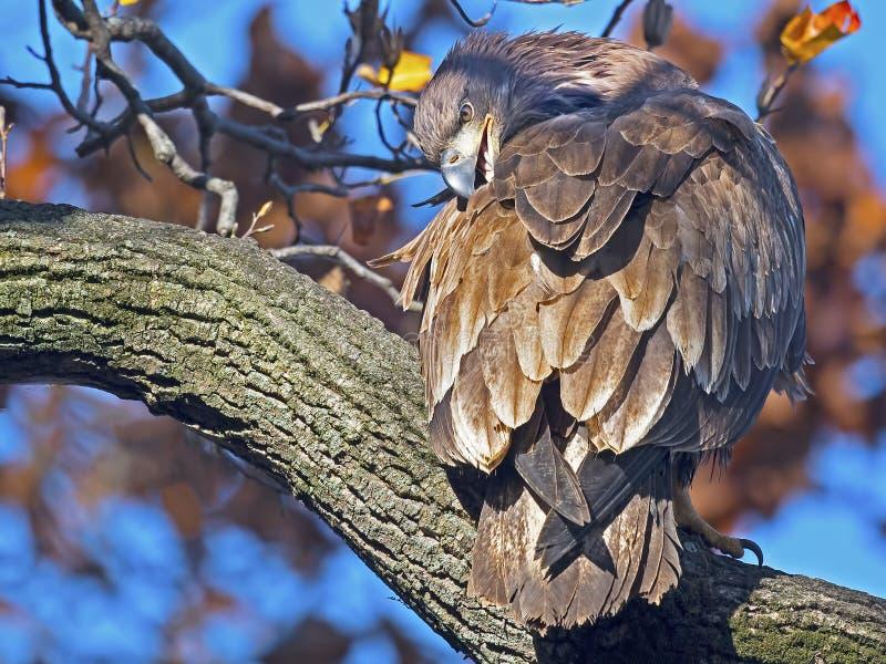 Juvenile Bald Eagle stock photography