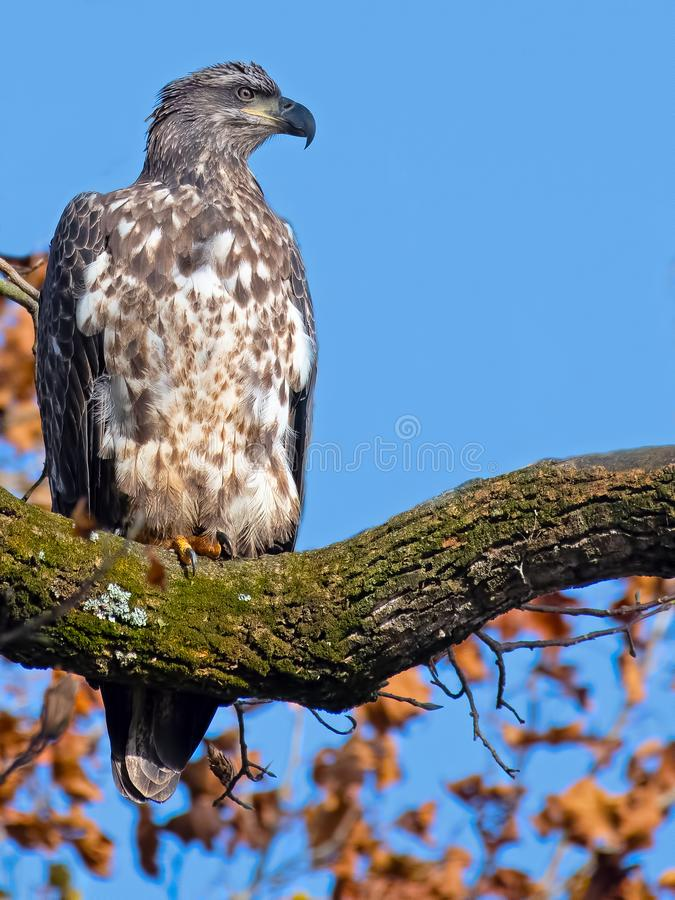 Juvenile Bald Eagle sitting on a tree branch royalty free stock photos