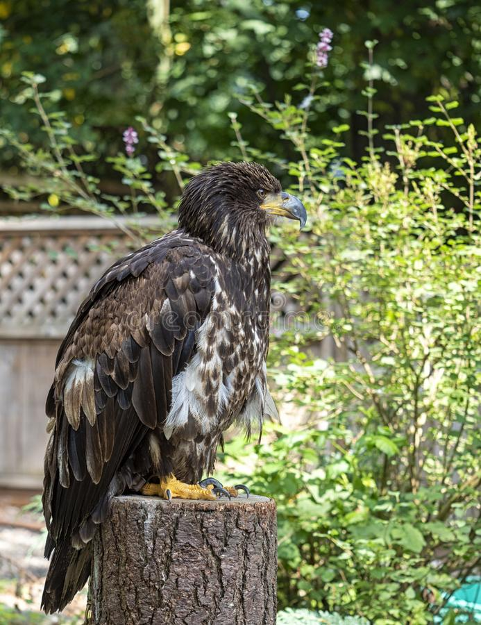 Juvenile Bald eagle sitting on a tree stump surveying the scenery of a backyard stock image