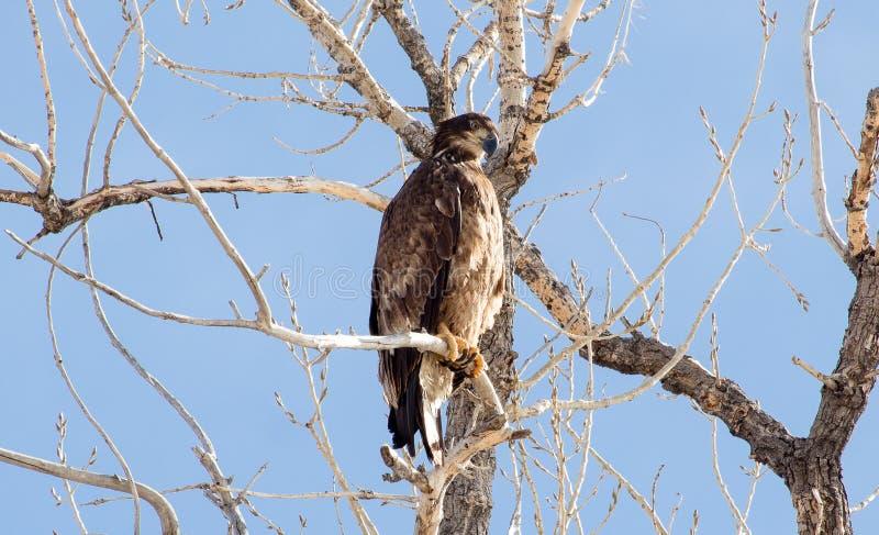 Juvenile Bald Eagle in Colorado royalty free stock photography