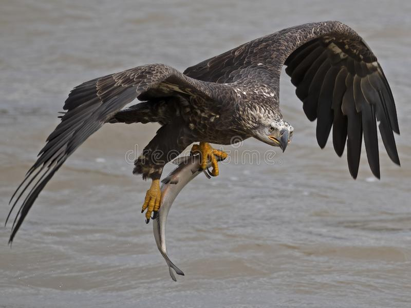 Juvenile Bald Eagle tijdens de vlucht met grote vissen royalty-vrije stock afbeelding