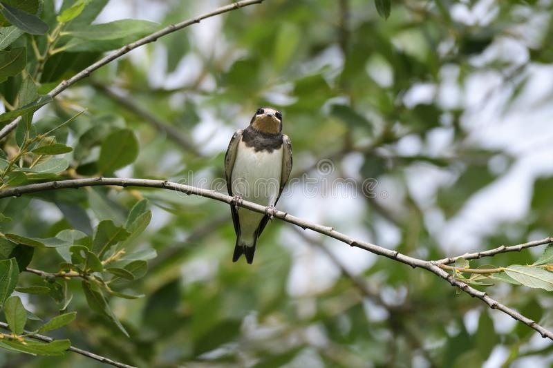 Juvenile Barn swallow on a tree stock photography