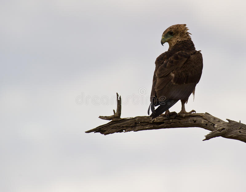 Juvenile Bateleur eagle perching on branch royalty free stock image