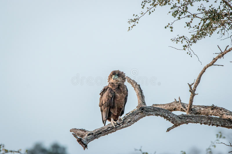 Juvenile Bateleur sitting on a branch. royalty free stock image