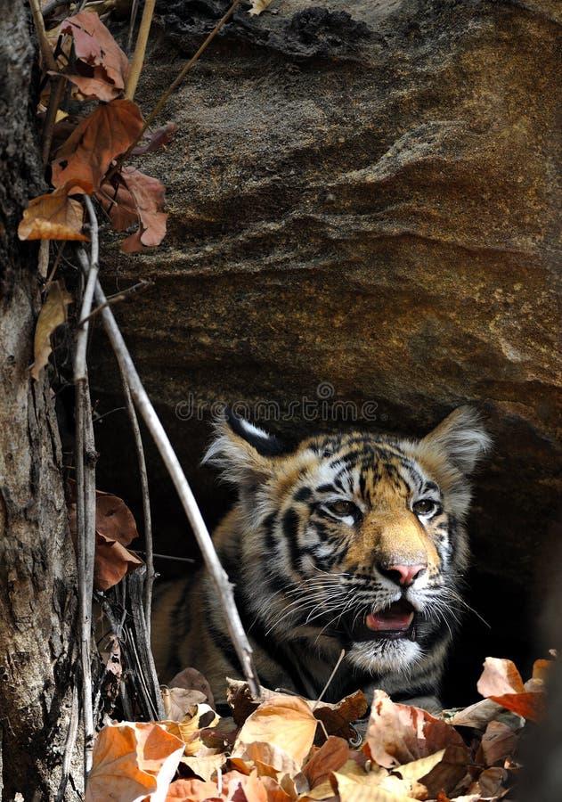 Juvenile Bengal tiger in natural habitat. stock photo