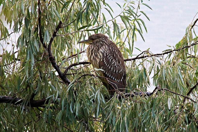 A juvenile Black Crown Night Heron in a Russian Olive tree royalty free stock image
