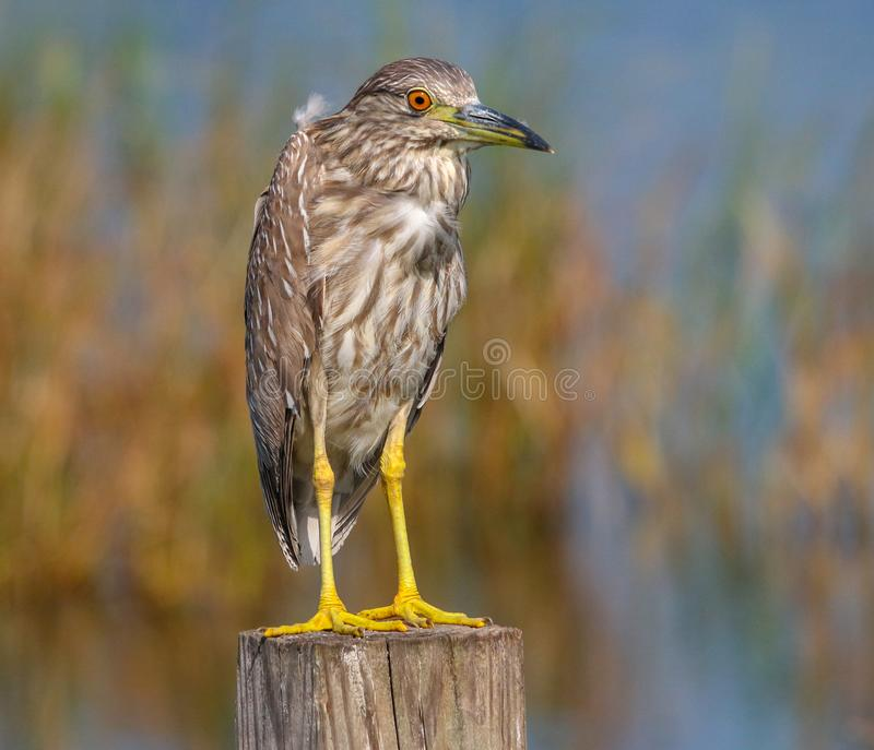 Juvenile Black Crowned Night Heron. This baby heron is investigating its new surroundings royalty free stock photography