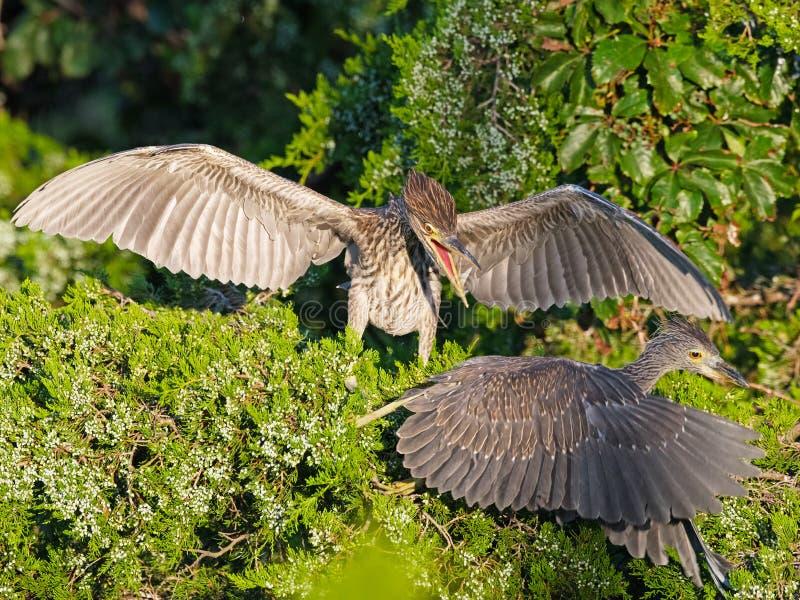 Juvenile Black-crowned Night Heron royalty free stock images