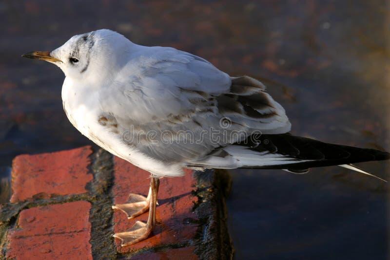 Juvenile Black Headed Gull (Larus ridibundus) royalty free stock photos
