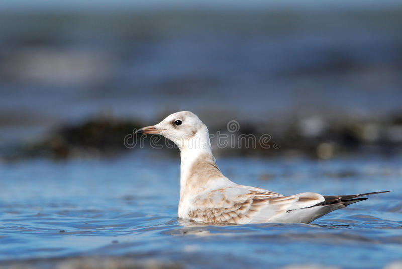 Juvenile Black-headed Gull. Swimming royalty free stock photography