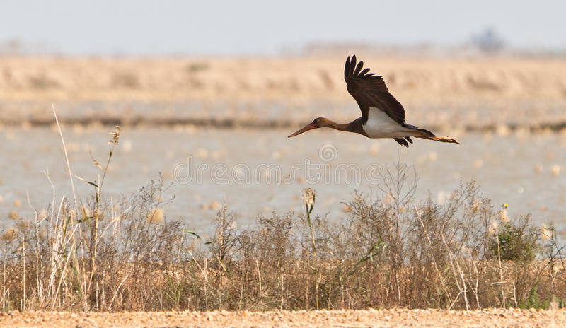 A juvenile Black Stork in low flight royalty free stock images