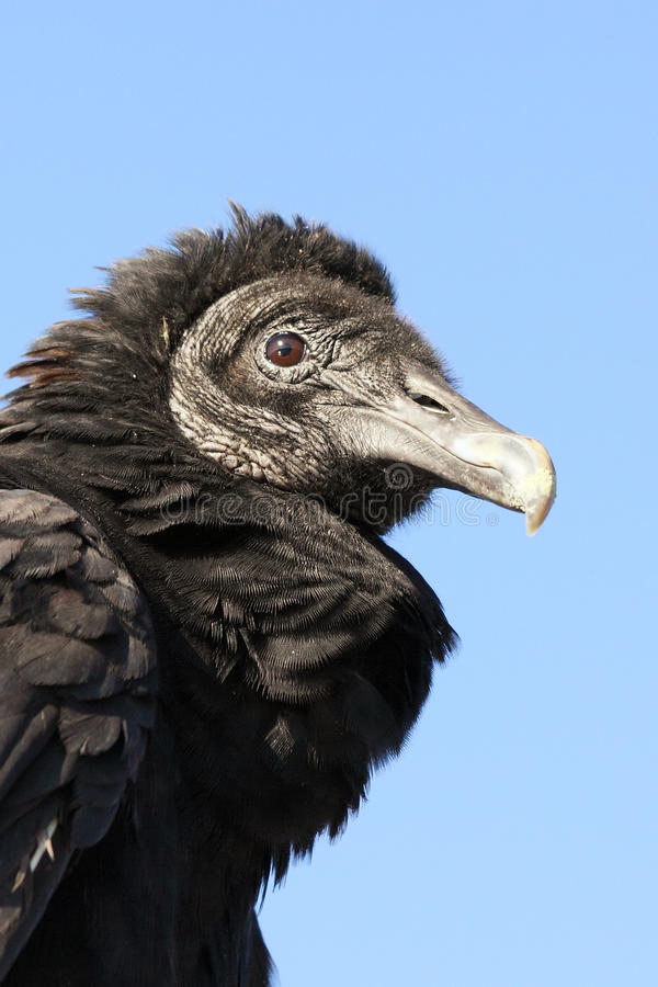 Juvenile Black Vulture (Coragyps atratus). Close-up of a juvenile Black Vulture (Coragyps atratus) in the Everglades National Park royalty free stock photos