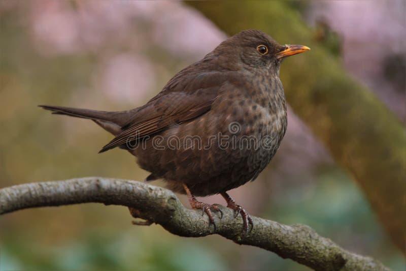 Juvenile Blackbird Free Public Domain Cc0 Image