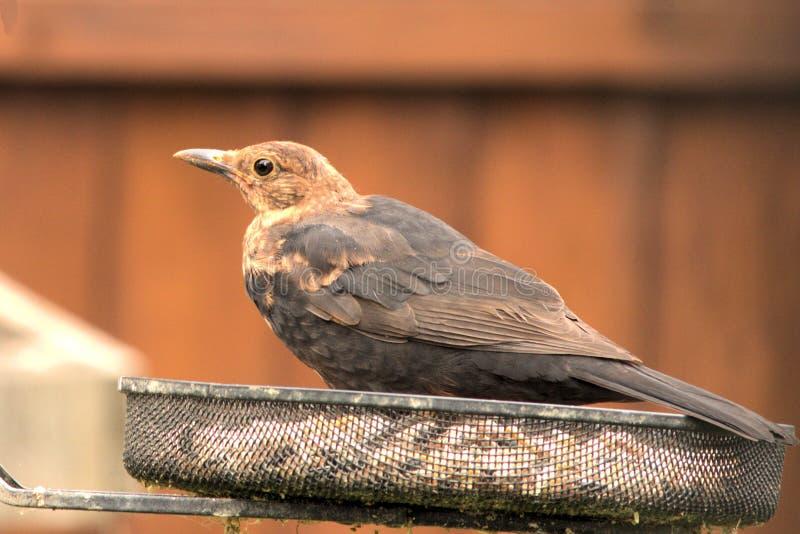 Juvenile Blackbird Just Chilling. royalty free stock image