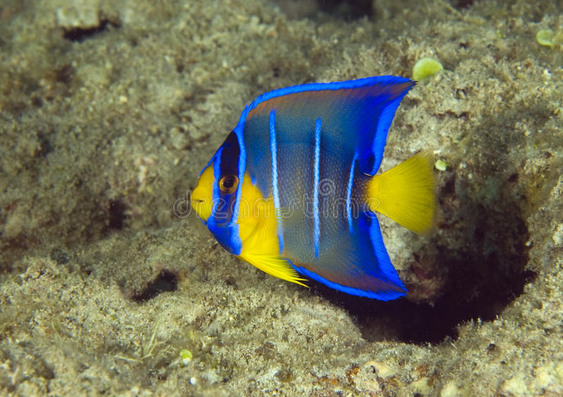 Juvenile Blue Angelfish royalty free stock photography