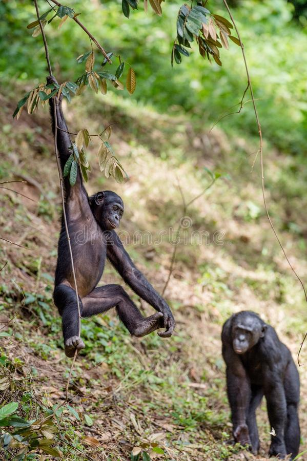 Download Juvenile Bonobo On The Branch Of The Tree. Stock Photo - Image: 83712312