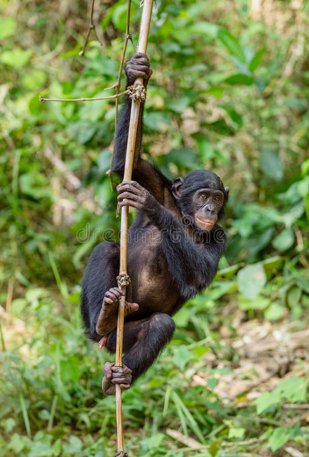 Download Juvenile Bonobo On The Branch Of The Tree. Stock Photo - Image: 83713754