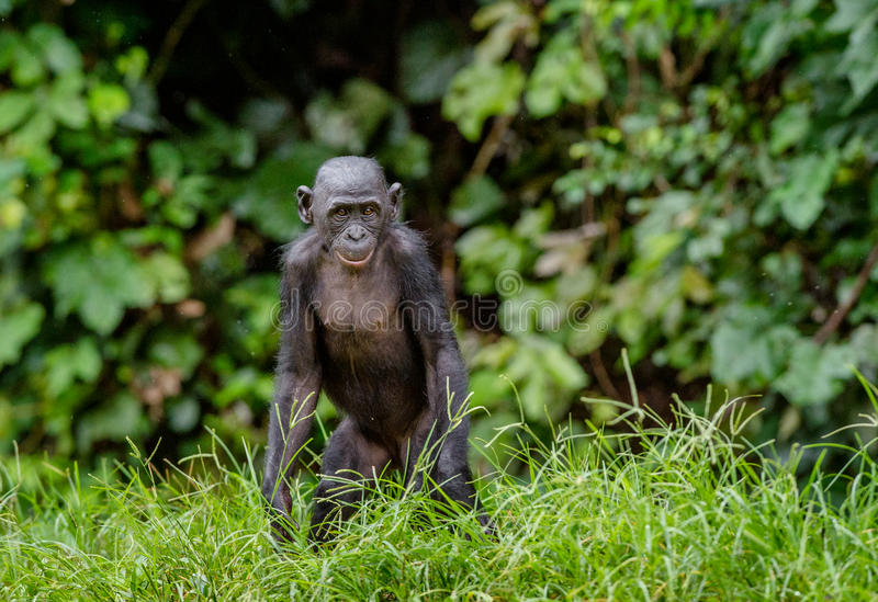 Download Juvenile Bonobo. Green Natural Background. Stock Photo - Image: 83712684