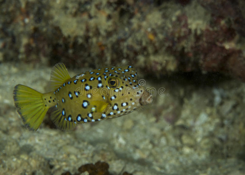 Juvenile boxfish royalty free stock image