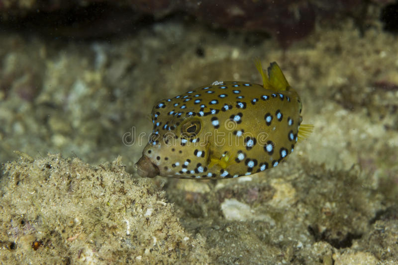 Juvenile boxfish stock photo