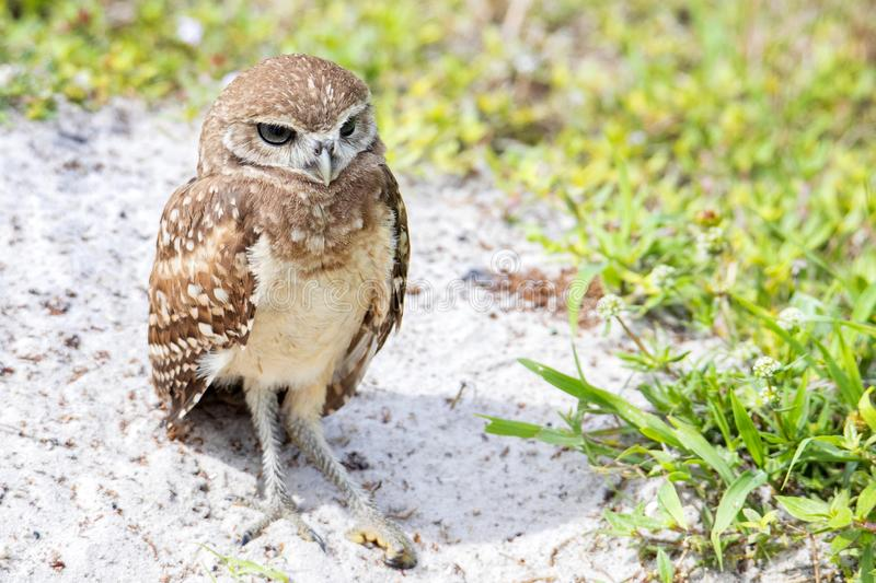 Juvenile Burrowing Owl With Rare Recessive Brown Eyes Gene stock photos