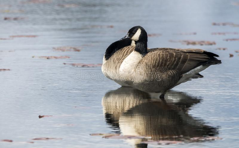 Young Canada Goose reflected in water of Exner Wildlife Preserve in Illinois royalty free stock images