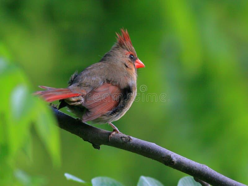 Juvenile cardinal. A cardinal growing into its adult plumage stock photography