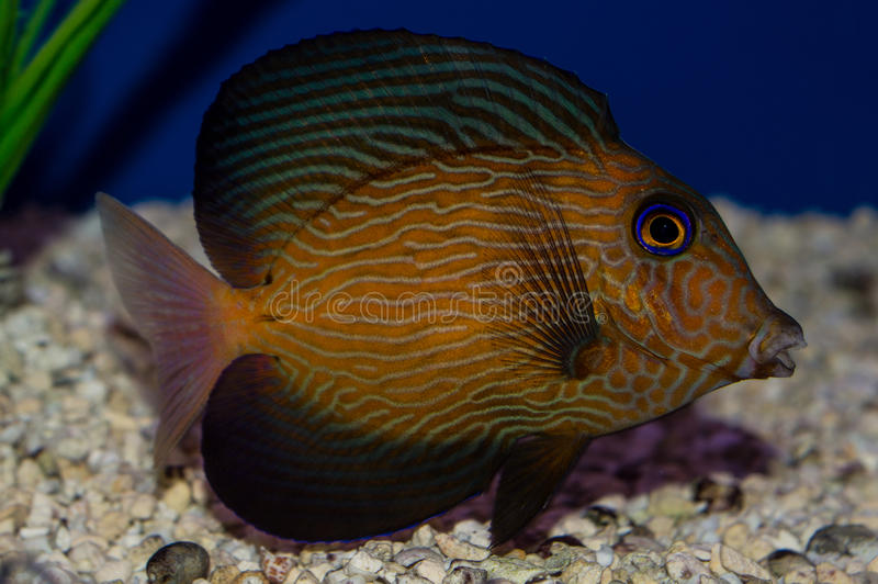Juvenile Chevron Tang. The Chevron Tang, also known as the Hawaiian Bristletooth, Hawaiian Surgeonfish, or Black Surgeonfish, has an oval body shape with stock images